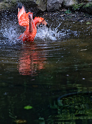 13-08-2014 NED: Dagje Ouwehands dierenpark, Rhenen<br /> De Rode ibis