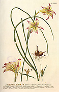 Coloured Copperplate engraving of a Lilio Gladiolus (Gladiolus Tristis) from hortus nitidissimus by Christoph Jakob Trew (Nuremberg 1750-1792)