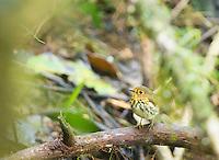 Ochre-breasted antpitta, Grallaricula flavirostris, at Refugio Paz de las Aves, Ecuador. Listed as Near Threatened on the IUCN Red List of Threatened Species.