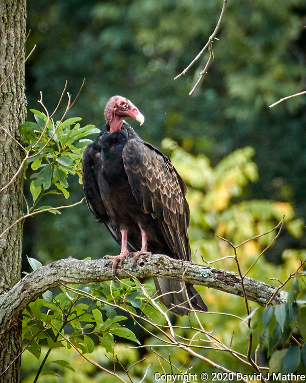 Turkey Vulture. Image taken with a Nikon N1V3 camera and 70-300 mm VR lens (ISO 160, 300 mm, f/6.3, 1/320 sec)