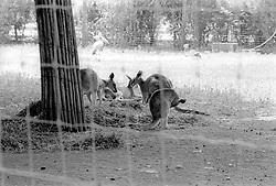 Kangaroos at the Parc Zoologique de Paris in the Bois de Vincennes, Tuesday, June 10, 1984, in Paris. (Photo by D. Ross Cameron)