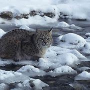 Bobcat, (Lynx rufus) At edge of stream. Winter.  Captive Animal.