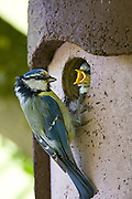 Bluetit bird feeding hungry young nestling in a garden bird box, The Cotswolds, Oxfordshire, England, United Kingdom