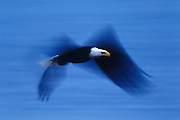 Native-Cordova-Alaska-travel-photographer-Randy-Wells, Image of a bald eagle in flight on the Kenai Peninsula, Alaska, the bald eagle is a bird of prey and national bird and symbol of the United States of America