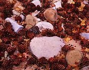 Ponderosa Pine cones and Gambel Oak leaves among sandstone cobbles on the floor of Clear Creek, Zion National Park, Utah.