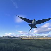 NUNAVUT, CANADA. Long-tailed Jaeger flies on Ellesmere Island.