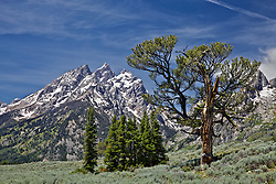 """Patriarch Tree, Grand Teton National Park's famous limbar pine<br /> <br /> For production prints or stock photos click the Purchase Print/License Photo Button in upper Right; for Fine Art """"Custom Prints"""" contact Daryl - 208-709-3250 or dh@greater-yellowstone.com"""