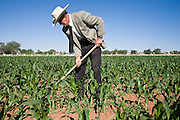 "June 16, 2008 -- COLORADO CITY, AZ: JOSEPH JESSOP, 86 years old, uses a hoe to weed his corn field in Colorado City, AZ. Jessop, a polygamist and member of the FLDS, was arrested during the Short Creek Raid in 1953 and had his wives and children taken from him for two years. Colorado City and neighboring town of Hildale, UT, are home to the Fundamentalist Church of Jesus Christ of Latter Day Saints (FLDS) which split from the mainstream Church of Jesus Christ of Latter Day Saints (Mormons) after the Mormons banned plural marriage (polygamy) in 1890 so that Utah could gain statehood into the United States. The FLDS Prophet (leader), Warren Jeffs, has been convicted in Utah of ""rape as an accomplice"" for arranging the marriage of teenage girl to her cousin and is currently on trial for similar, those less serious, charges in Arizona. After Texas child protection authorities raided the Yearning for Zion Ranch, (the FLDS compound in Eldorado, TX) many members of the FLDS community in Colorado City/Hildale fear either Arizona or Utah authorities could raid their homes in the same way. Older members of the community still remember the Short Creek Raid of 1953 when Arizona authorities using National Guard troops, raided the community, arresting the men and placing women and children in ""protective"" custody. After two years in foster care, the women and children returned to their homes. After the raid, the FLDS Church eliminated any connection to the ""Short Creek raid"" by renaming their town Colorado City in Arizona and Hildale in Utah.   Photo by Jack Kurtz"