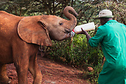 An orphaned elephant calf (Loxodonta africana) being fed milk by a Keeper at the David Sheldrick Wildlife Trust orphanage for elephants orphaned as a result of the elephant calves' mothers being poached for their ivory, Nairobi, Kenya