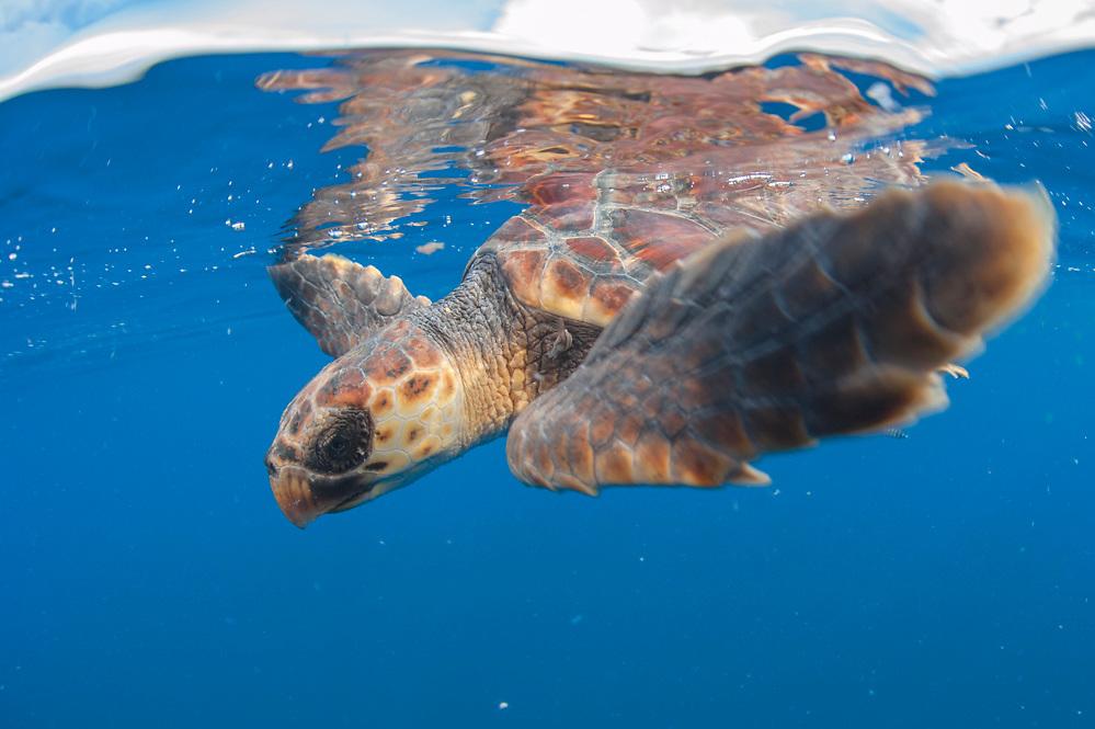 A Loggerhead Sea Turtle Juvenile, Caretta caretta, drifts in the open ocean offshore Pico Island, Azores, Portugal, North Atlantic Ocean.