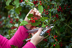 Picking sprigs of common holly berries for arranging in the house at Christmas. Ilex aquifolium