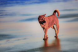 October 8, 2016 - Shanwei, Shanwei, China - Shanwei, CHINA-October 3 2016: (EDITORIAL USE ONLY. CHINA OUT) A dog walks on the beach in Shanwei, south China¡¯s Guangdong Province, October 3rd, 2016. (Credit Image: © SIPA Asia via ZUMA Wire)