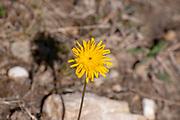 Aposeris foetida, Alpine yellow wildflower from the daisy family. Photographed on Elfer Mountain, Stubai Valley, Tyrol, Austria in September