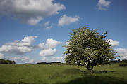 Tree covered in blossom in the British countryside near Studley, Warwickshire, England, United Kingdom.