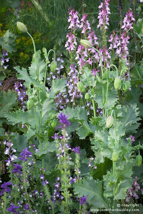 Linaria maroccana 'Licilia Azure' (Toadflax) with Linaria and Papaver somniferum (Opium poppy)
