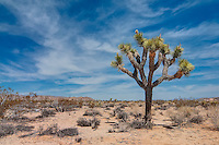 There are a couple places in the American Southwest where you can see the Joshua tree in large numbers. This one was photographed in Joshua Tree National Park in Southern California.