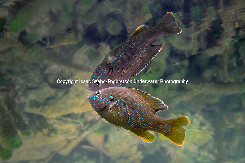 Green Sunfish<br /> <br /> Isaac Szabo/Engbretson Underwater Photography