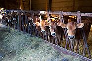 Organic Milk Cows