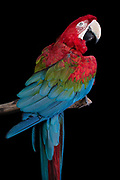 Green-Winged Macaw (Ara chloropterus). Rosie has a special relationship with her neighbor, the fierce looking, but gentle Buddha. Together they star in live educational shows.