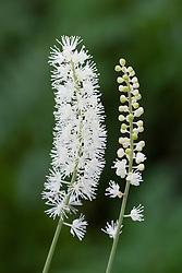 Actaea matsumurae 'White Pearl' (syn. Cimicifuga). Bugbane