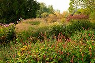 Persicaria affinis and rows of ornamental grasses at Waterperry Gardens, Waterperry, Wheatley, Oxfordshire, UK