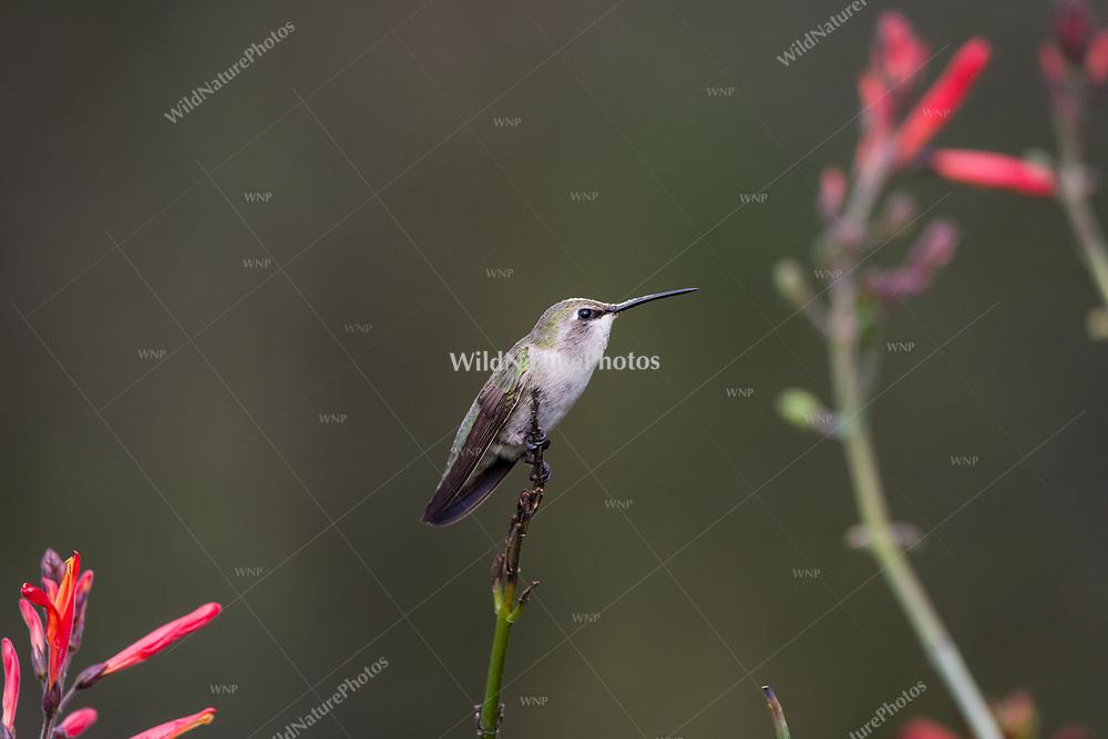 A female Costa's hummingbird (Calypte costae) perched on a dry branch in Butterfly Bush aka chuparosa (Justicia californica) (Tucson, Arizona)