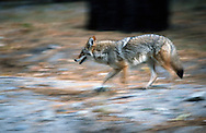 Photographs from the project documenting the 100th anniversary of Yosemite National Park in 1990.<br /> <br /> A coyote on the hunt for food.