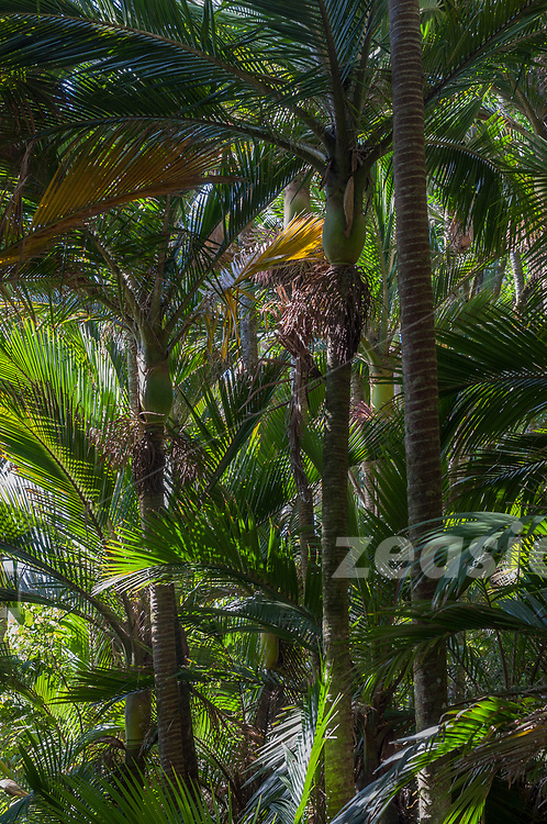 Finest Nikau forest along the coastal stretch of the Heaphy Track.