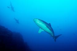 Carcharhinus galapagensis and Sphyrna lewini, Galapagoshai und Bogenstirn Hammerhai im Hintergrund, Galapagos shark, Insel Cocos, Costa Rica, Pazifik, Pazifischer Ozean, Cocos Island, Costa Rica, Pacific Ocean