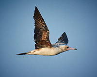 Brown Booby in flight. Image taken with a Nikon N1V3 camera and 70-300 mm VR lens (ISO 1100, 250 mm, f/5.6, 1/2000 sec).
