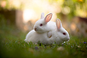 Hotot Rabbits playing on the grass