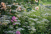 Aegopodium podagraria - ground elder with Rosa 'Buff Beauty' Shrub Rose and Centranthus ruber - Red Valerian in June