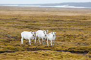 Reindeer grazing on the arctic tundra at Russebukta, Edgeoya, Svalbard, Norway