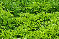 False hellebore (Veratrum viride) growing in a mass in a moist meadow in Mount Rainier National Park, WA, USA