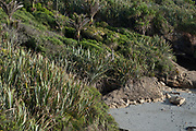 Coastal Nikau/Flax vegetation at sunset, reaching from the limestone cliffs of Paparoa National Park, right down to the sea shore. Limestone formations fall exposed along the beaches of the various bays of the area.