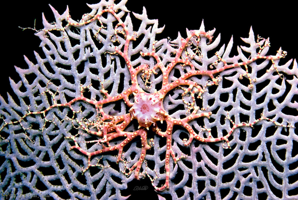 """A juvenile basket starfish(Astrophyton muricatum) clings to a sea fan (Gorgonia ventalina) at night 46 feet beneath the """"Division"""" at Lighthouse Reef, Belize, Central America. The Caribbean basket star is primarily a nocturnal creature. During daylight hours, the animal coils itself into a tight mass and seeks shelter amongst coral crevices or within vase sponges. However, at night the basket star sends to the top of sea whips or sea fans and spreads its netlike arms into the current to entrap drifting plankton and other organic particles upon which it feeds. Arm lengths of over 15 inches are often obtained when fully grown. This young individual is in the process of scaling a sea fan at dusk in preparation for an evening of feeding."""