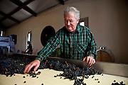 Patron Gerard Becot sorting merlot grapes during harvest at Chateau Beau-Sejour Becot, St Emilion, Bordeaux, France