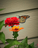 Monarch Butterfly. Image taken with a Fuji X-H1 camera and 80 mm f/2.8 macro lens (ISO 200, 80 mm, f/4, 1/950 sec).