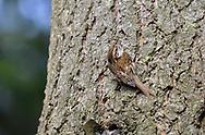 Treecreeper - Certhia familiaris