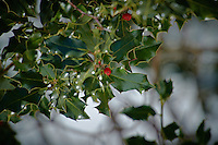 Holly and Berry in Winter. Image taken with a Nikon D3s and 70-200 mm VRII and TC-E 20 teleconverter (ISO 200, 400 mm f/5.6, 1/800 sec).