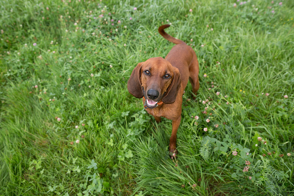 happy coonhound looking up at the camera