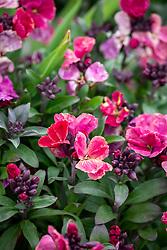 Erysimum 'Sugar Rush Purple Bicolour' F1 - Wallflower