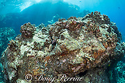 a large lava boulder is studded with eroding skeletons of cauliflower coral colonies, Pocillopora meandrina, that bleached and died during 2015 El Nino event, and are now covered with encrusting algae; Kohanaiki, Kona, Hawaii ( Big Island ), Hawaiian Islands ( Central Pacific Ocean )