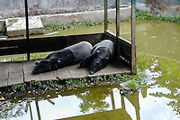 Indonesia, Sumatra. Medan. Asian tapir is another species on the brink of extinction. Medan Zoo.