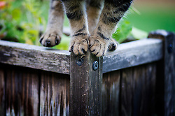 Paws of a male tabby cat as he balances on a garden flower tub, England, UK.
