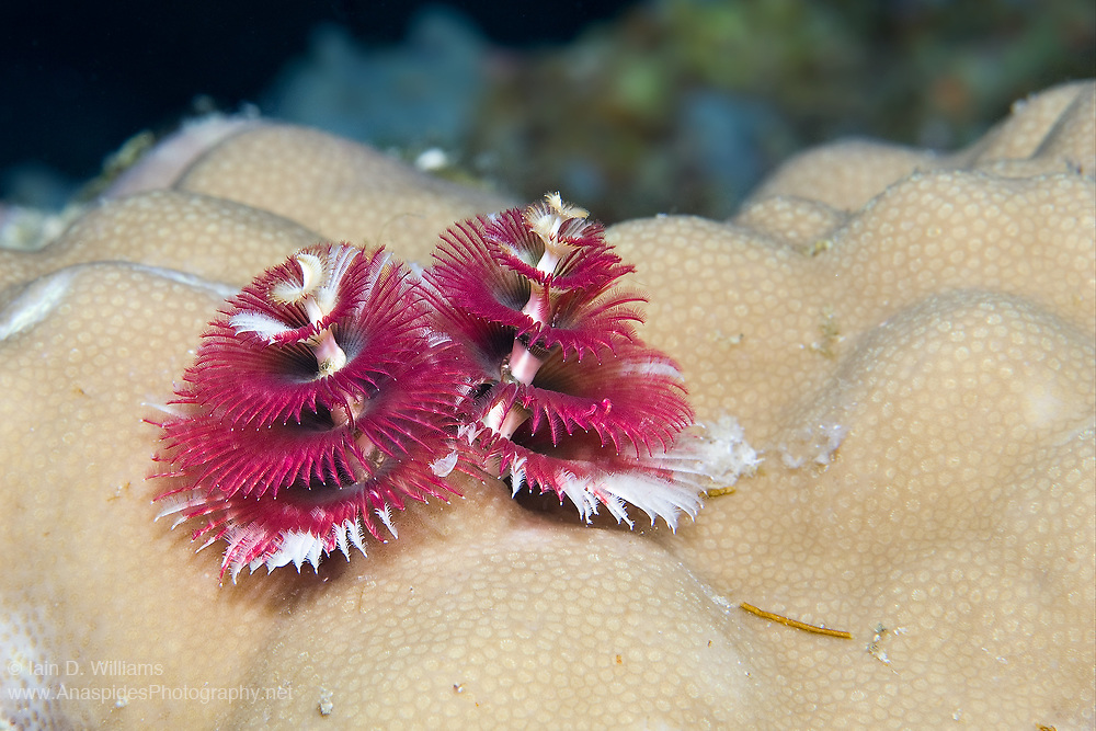 The Christmas tree worm, Spirobranchus giganteus, is a Christmas tree-shaped serpulid tube-dwelling worm with magnificent twin spirals of plumes used for feeding and respiration. This cone-shaped worm is one of the most widely recognised sedentary polychaete worms. They come in many colours including orange, yellow, blue, and white and, though they are small with an average 3.8 cm in span, the are easily spotted due to their shape, beauty, and colour. The colourful plumes, or tentacles, are used for passive feeding on suspended food particles and plankton in the water. The plumes are also used for respiration. Though the plumes are visible, most of the worm is anchored in its burrow that it bores into a live calcareous coral. Christmas tree worms are very sensitive to disturbances and will rapidly retract into the burrow at the slightest touch or passing shadow. They typically re-emerge a minute later, very slowly, to test the water before fully extending their plumes
