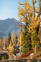 Subalpine Larches (Larix lyallii) in golden autumn color. North Cascades National Park Washington