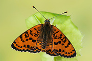 Spotted Fritillary Butterfly, Melitaea didyma, Europe, Wings Open, southern and central Europe from north Africa to Poland and Greece, Red-band Fritillary