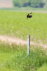 Red-winged Blackbird - A stout, broad-shouldered blackbird with a thin, conical bill and a medium-length tail. Red-winged Blackbirds sometimes show a hump-backed silhouette when perched; males often sit with a tail slightly flared.
