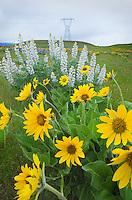 Balsamroot (Balsamorhiza deltoidea) and Lupines (Lupinus latifolius x sericeus var. latifolius), Dalles Mountain Ranch in the Columbia Hills, Columbia River Gorge National Scenic Area, Washington